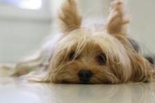 yorkshire-terrier-pusechka